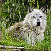 Wild Wolf Poster