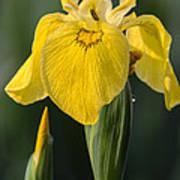 Wild Yellow Iris Poster