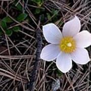 Wildflower Among Pine Needles Poster