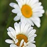Wildflower Named Oxeye Daisy Poster