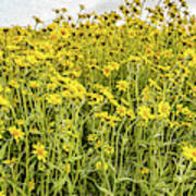 Wildflowers In A Field, Carrizo Plain Poster