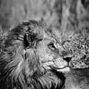 Wildlife Lion Poster