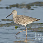 Willet Poster