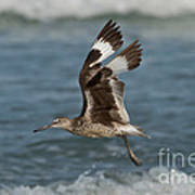 Willet In Flight Showing Wing Molt Poster