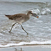 Willet With Mole Crab Poster