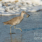 Willet With Sand Crab Poster