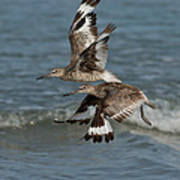 Willets In Flight Showing Molt Poster