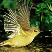 Willow Warbler Phylloscopus Trochilus Poster