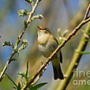 Willow Warbler Singing In Spring Poster by John Kelly
