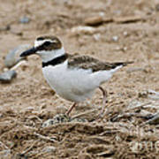 Wilsons Plover At Nest Poster