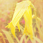 Wilted Yellow Lily In The Dew Poster