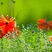 Windblown Poppies Poster