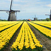 Windmills And Tulips Poster