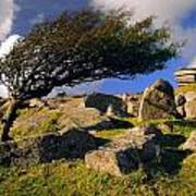 Windswept Hawthorn Tree Poster