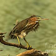 Windy Morn Green Heron Poster