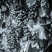 Wine Grapes Bw Poster