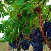Wine Grapes On The Vine Poster