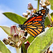 Wings Up Monarch Butterfly By Diana Sainz Poster