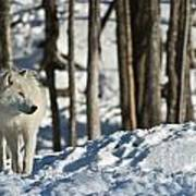 Winter Arctic Wolf Poster