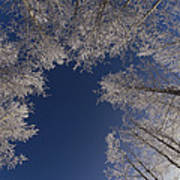 Winter Aspen Canopy Yellowstone Poster
