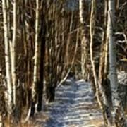 Winter Birches Poster
