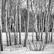 Winter Birches Poster