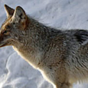 Winter Coyote In Yellowstone Poster