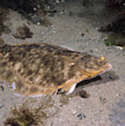 Winter Flounder Poster