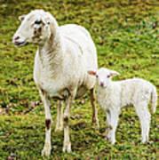 Winter Lamb And Ewe Poster