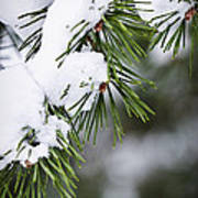 Winter Pine Branches Poster