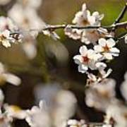 Winter Spring Almond Flowers Poster