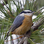 Winter Visitor - Red Breasted Nuthatch Poster
