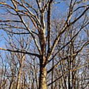 Winter White Oak Poster
