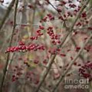 Winterberries Squared Poster