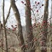 Winterberries Poster