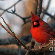 Northern Cardinal Red Beauty  Poster