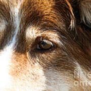 Wise Old Collie Eyes Poster
