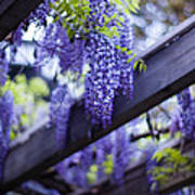 Wisteria Beams Poster