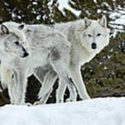 Wolf - Friend Poster