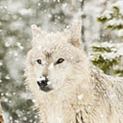Wolf In Snow Poster