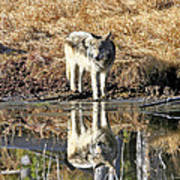Wolf Pup Reflection Poster