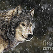 Wolf - Snow Storm Poster