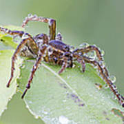 Wolf Spider In Dew  Poster