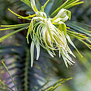Wollemi Pine Poster