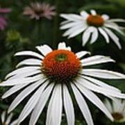 Wonderful White Cone Flower Poster