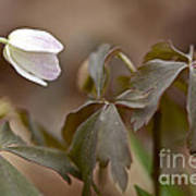 Wood Anemone Wildflower - Anemone Quinquefolia L.  Poster