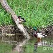 Wood Duck And Mallard Poster