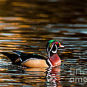 Wood Duck At Morning Poster
