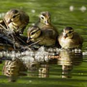 Wood Duck Babies Poster