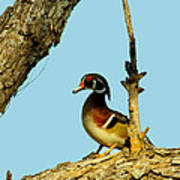 Wood Duck Drake In Tree Poster